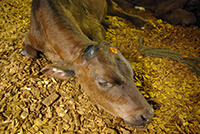 Calf in recovery position