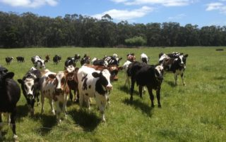 group of heifers in grassy paddock