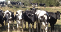 heifers standing in paddock