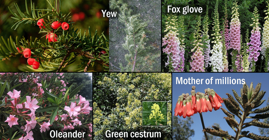compilation of different poisonous plants: yew, fox glove, oleander, green cestrum and mother of millions
