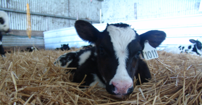 calf curled up in straw