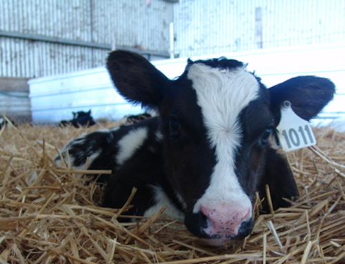 Colostral antibodies: calves' gold star troops