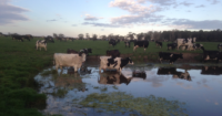 cows cooling off in dam