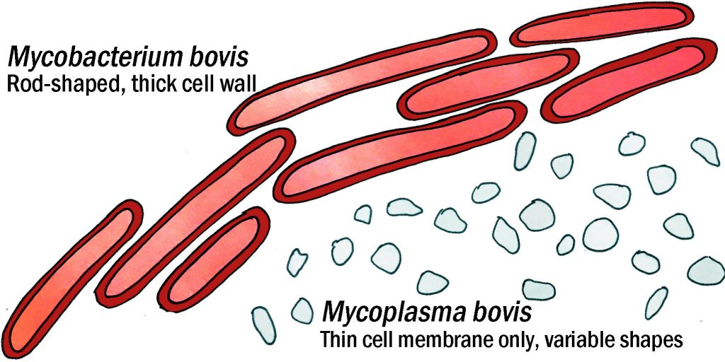 a drawing showing the shape and relative size of mycoplasma and mycobacterium