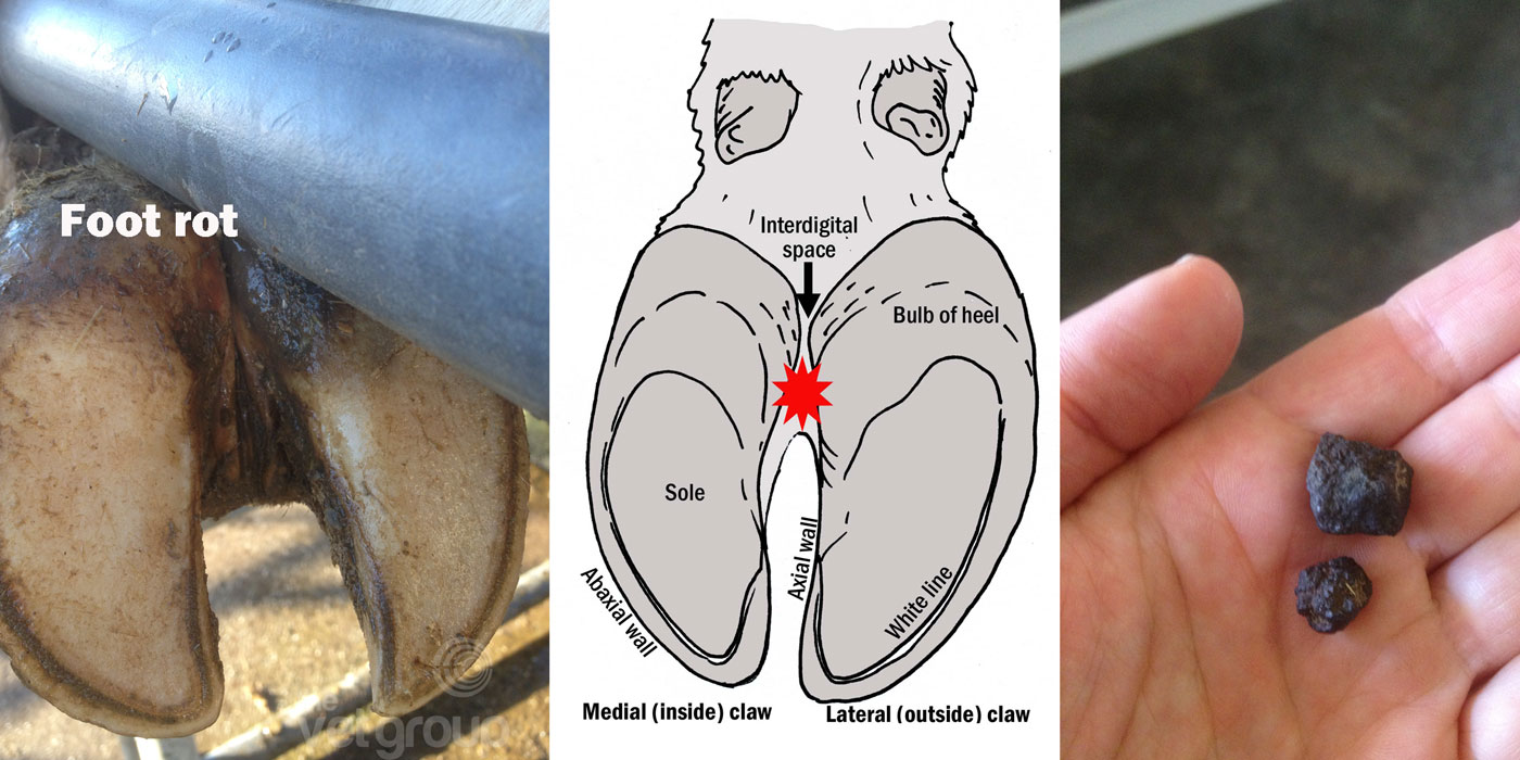 A diagram and photo of foot rot