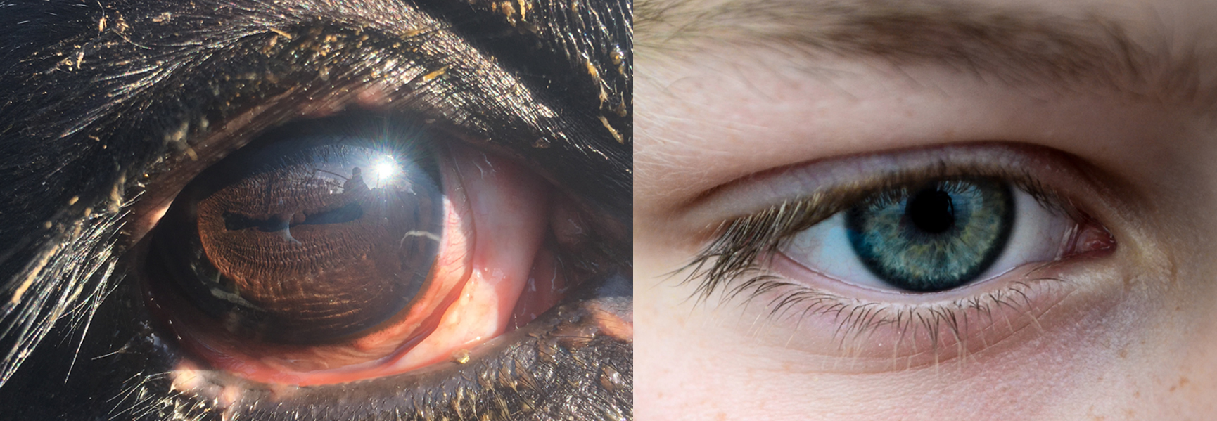 comparison of a human and a cow pupil