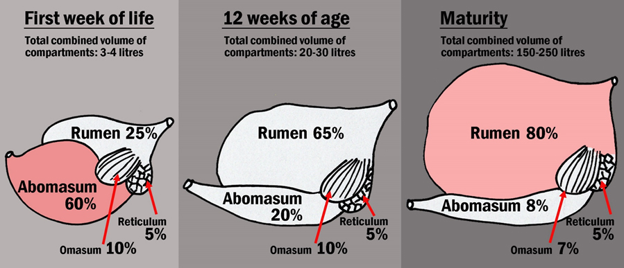 diagram showing rumen growth over time