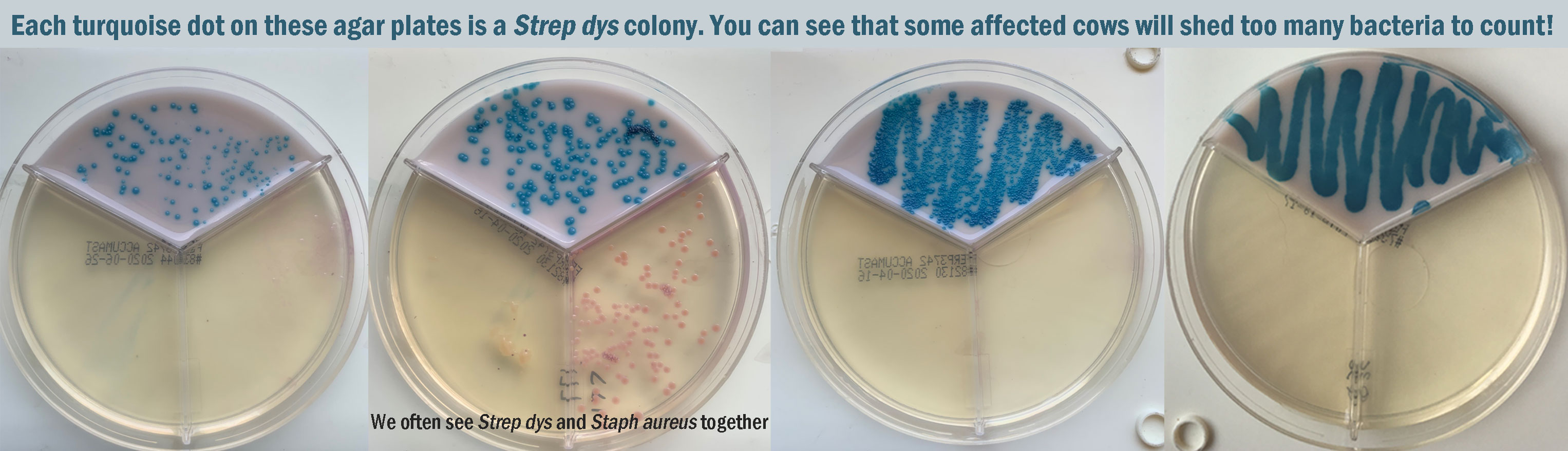 agar plates showing turquoise strep dys bacteria
