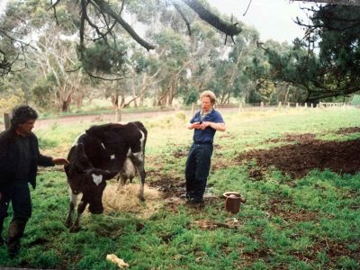 vet treating cow with milk fever