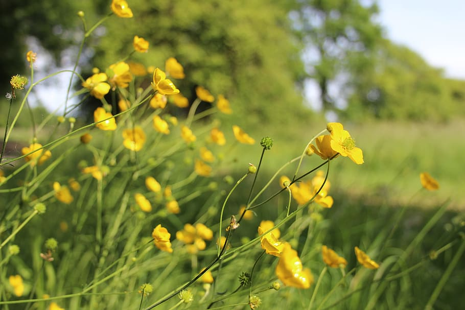 buttercups with grass meadow behind
