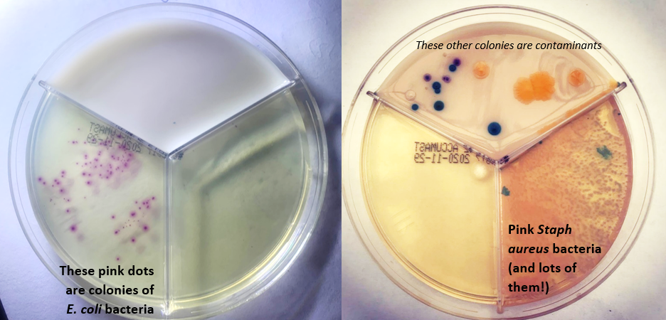 two chromogenic agar plates showing e coli and staph growth