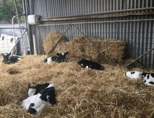Winter is coming…calves and the cold